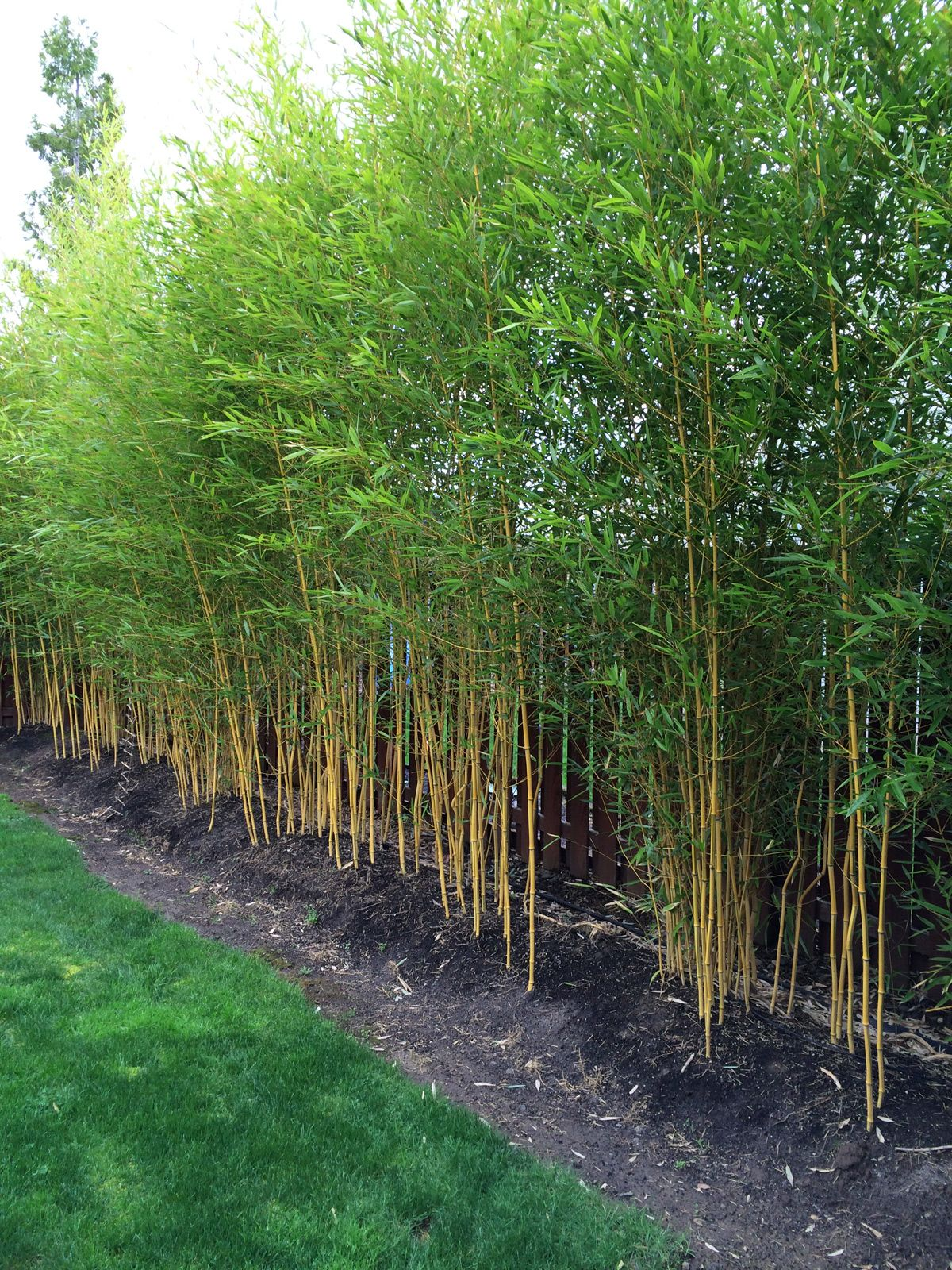 Phyllostachys aureosulcata 39 spectabilis 39 zone 5 yard for Backyard privacy landscaping trees