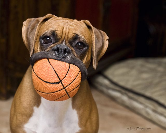 Big Mouth Boxer Dogs Boxer Puppies Boxer
