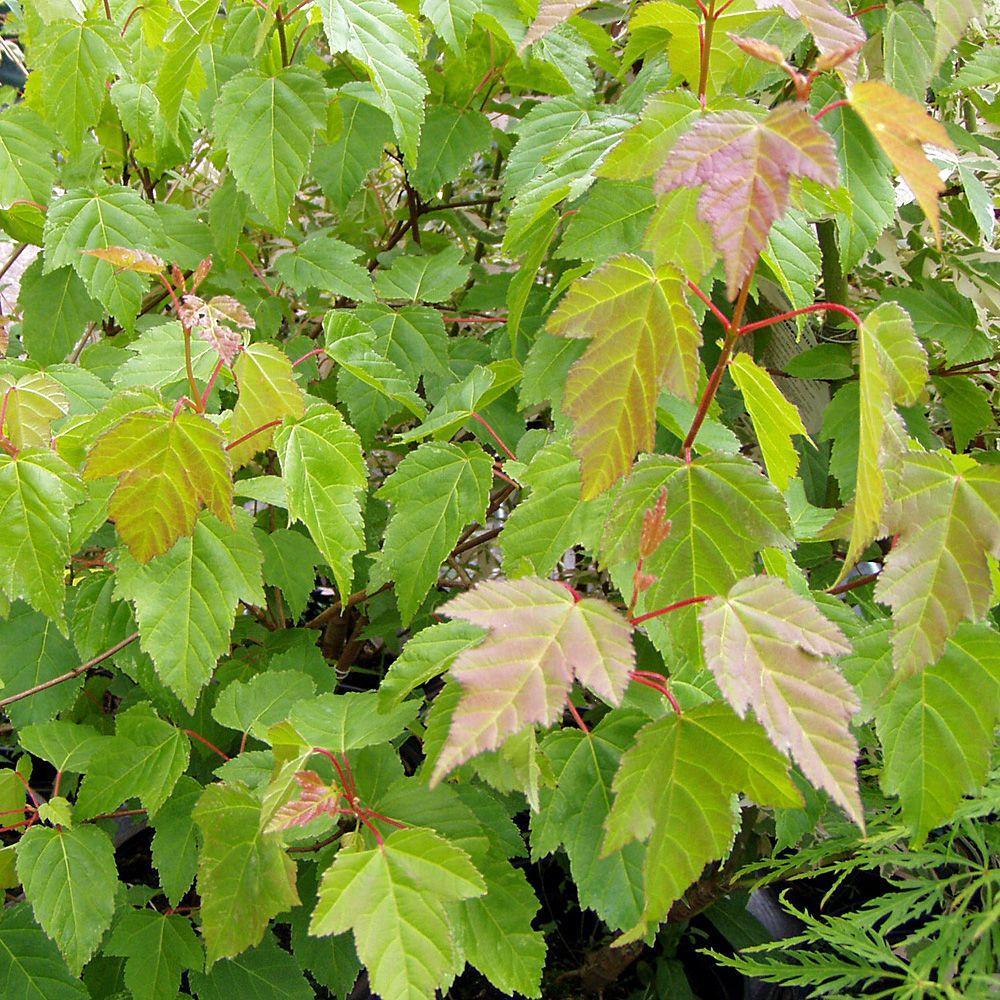 5 Schnellwachsende Straucher Sichtschutz Pflanzen