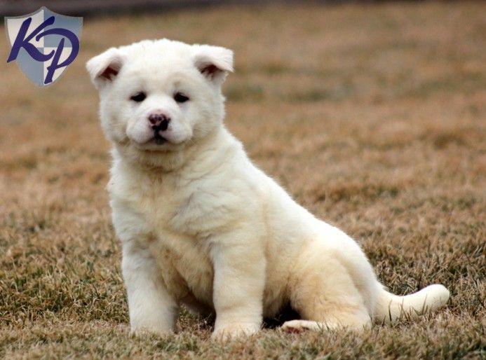 Ally – Akita Puppies - Price: $850.00 - Gender: Female - Age: 34 Weeks - From: keystonepuppies.com.
