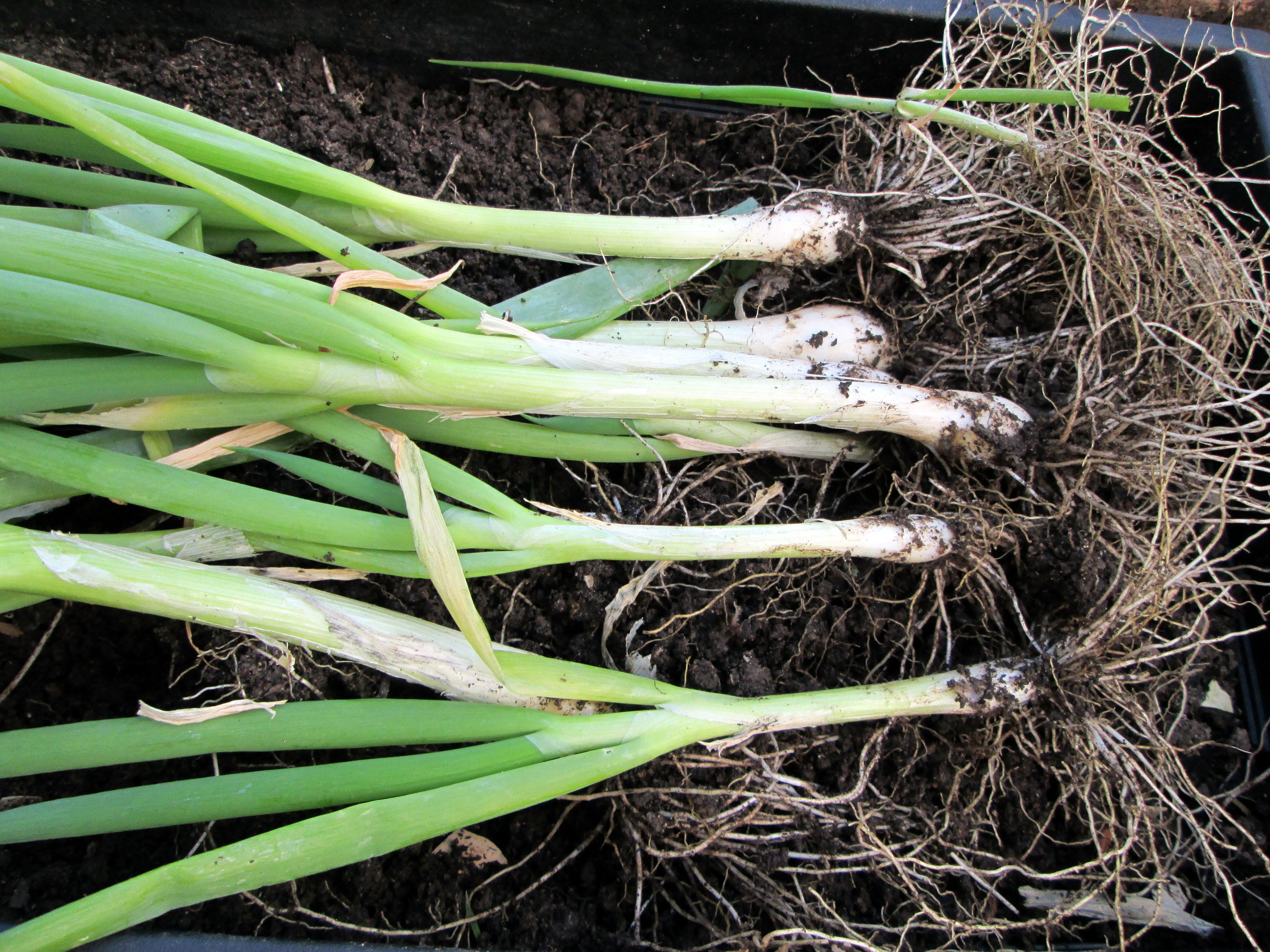 how to grow scallions and spring onions in garden easy coleslaw
