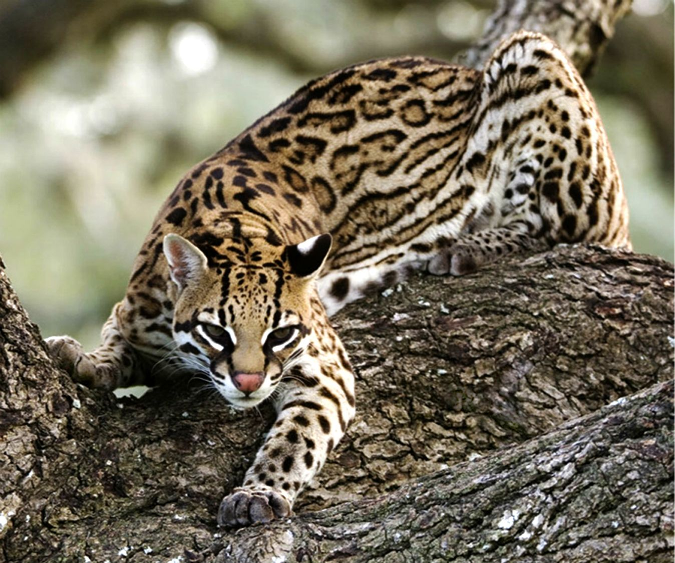 10 Legal Small Exotic Cats That Are Kept as Pets  PetHelpful