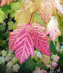Acer glabrum (Rocky Mountain         maple) leaves in fall color (V. Lohr)
