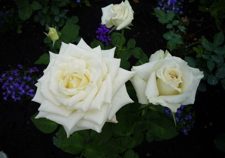 вдвоем роза паскали чайно гибридная фото дело