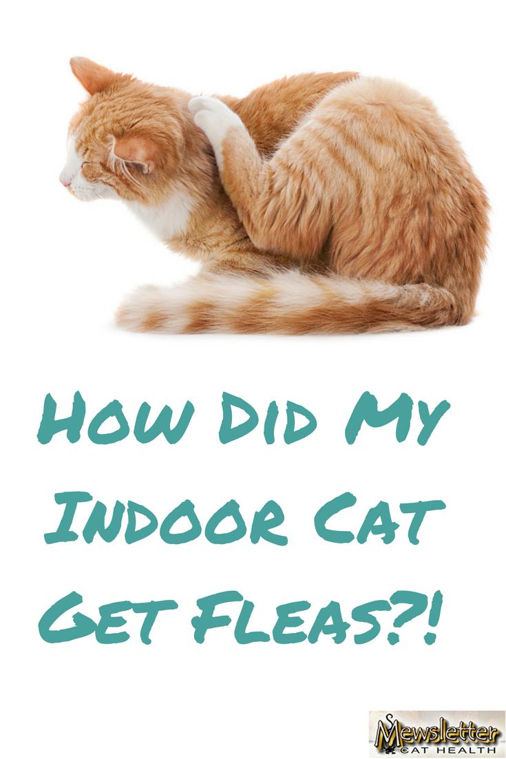 How Did My Indoor Cat Get Fleas Cat Has Fleas Indoor Cat Cat Fleas