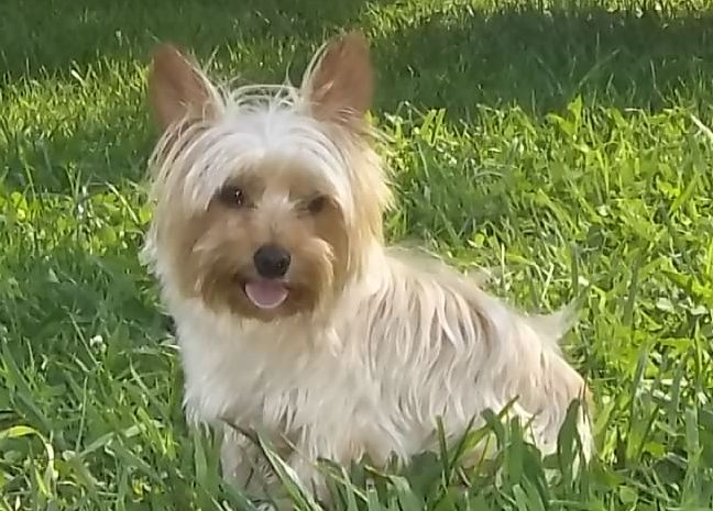 Blonde Highlights Perfect Yorkshire Terrier Yorkie Yorkshire Terrier Puppies