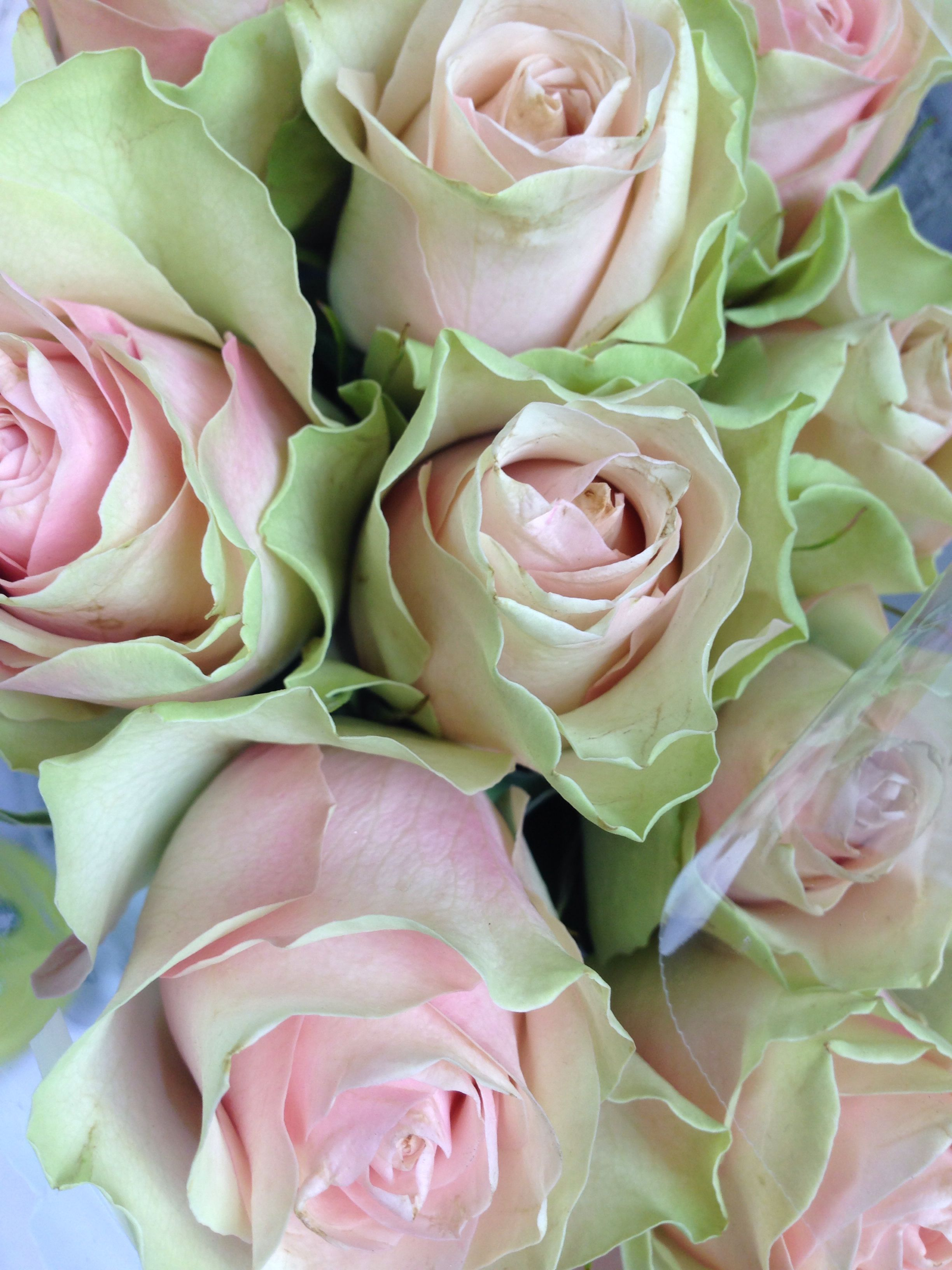 Green And Pink Roses Pink and Green ...