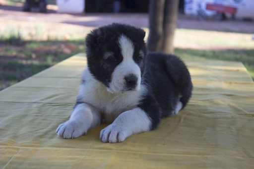 Litter Of 6 Central Asian Shepherd Dog Puppies For Sale In