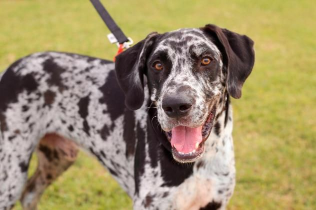 Adopt Bruce On Great Dane Dogs Leopard Dog Great Danes For
