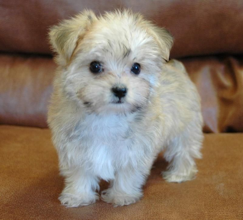 Adult Teacup Maltipoo Maltipoo Puppy Teacup Maltipoo Maltipoo Dog