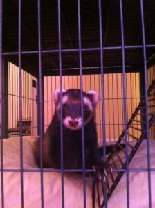 Friendly Female Ferret Peterborough Pets For Sale Kijiji