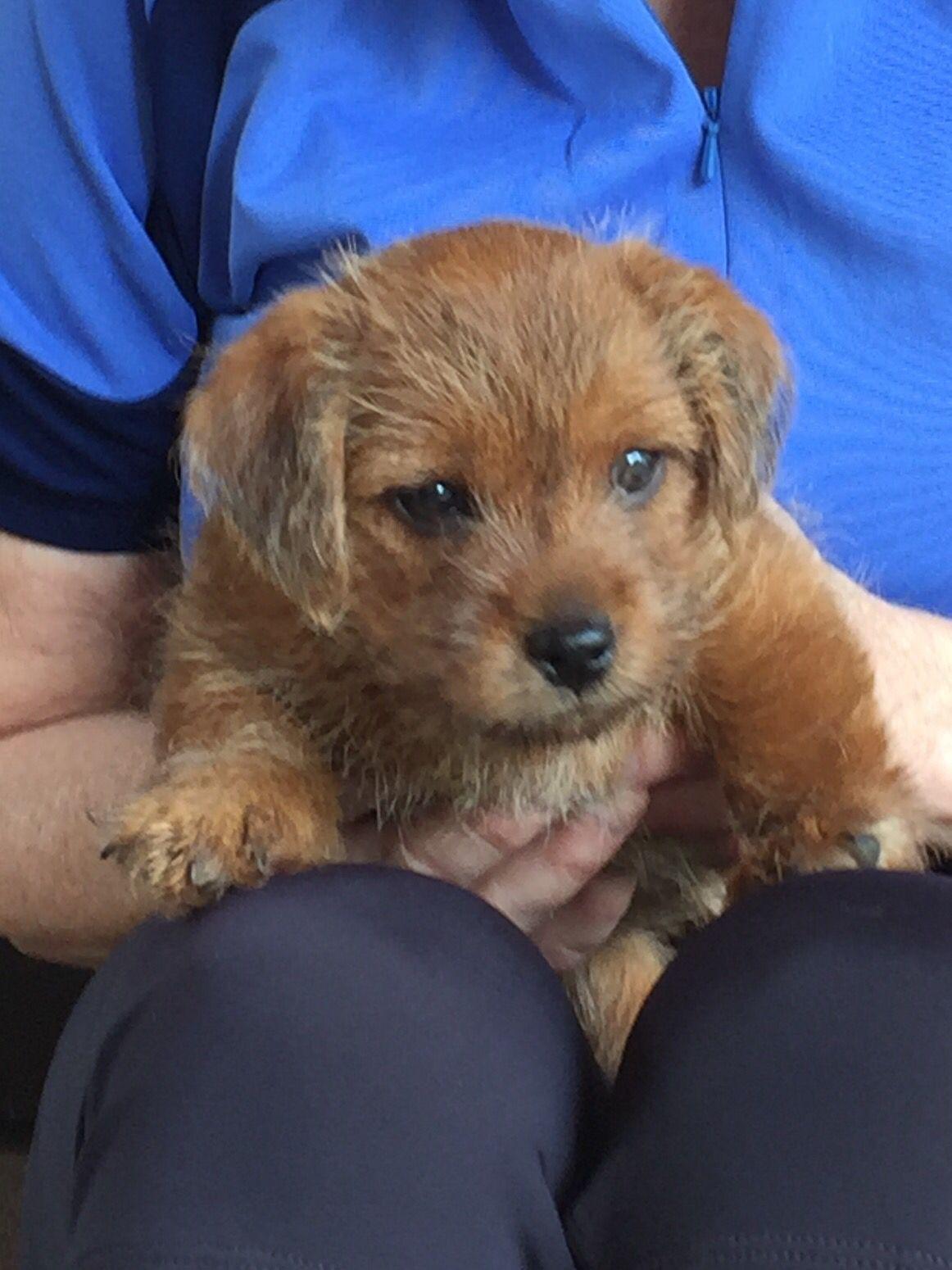 8 Weeks Old Norfolk Terrier Puppy Norfolk Terrier Norfolk