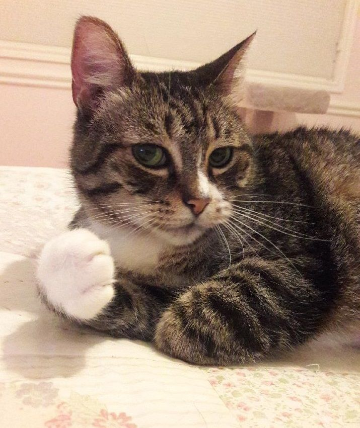 Adopt Socks (volunteer favorite) on Cats, Cat lovers, Pets