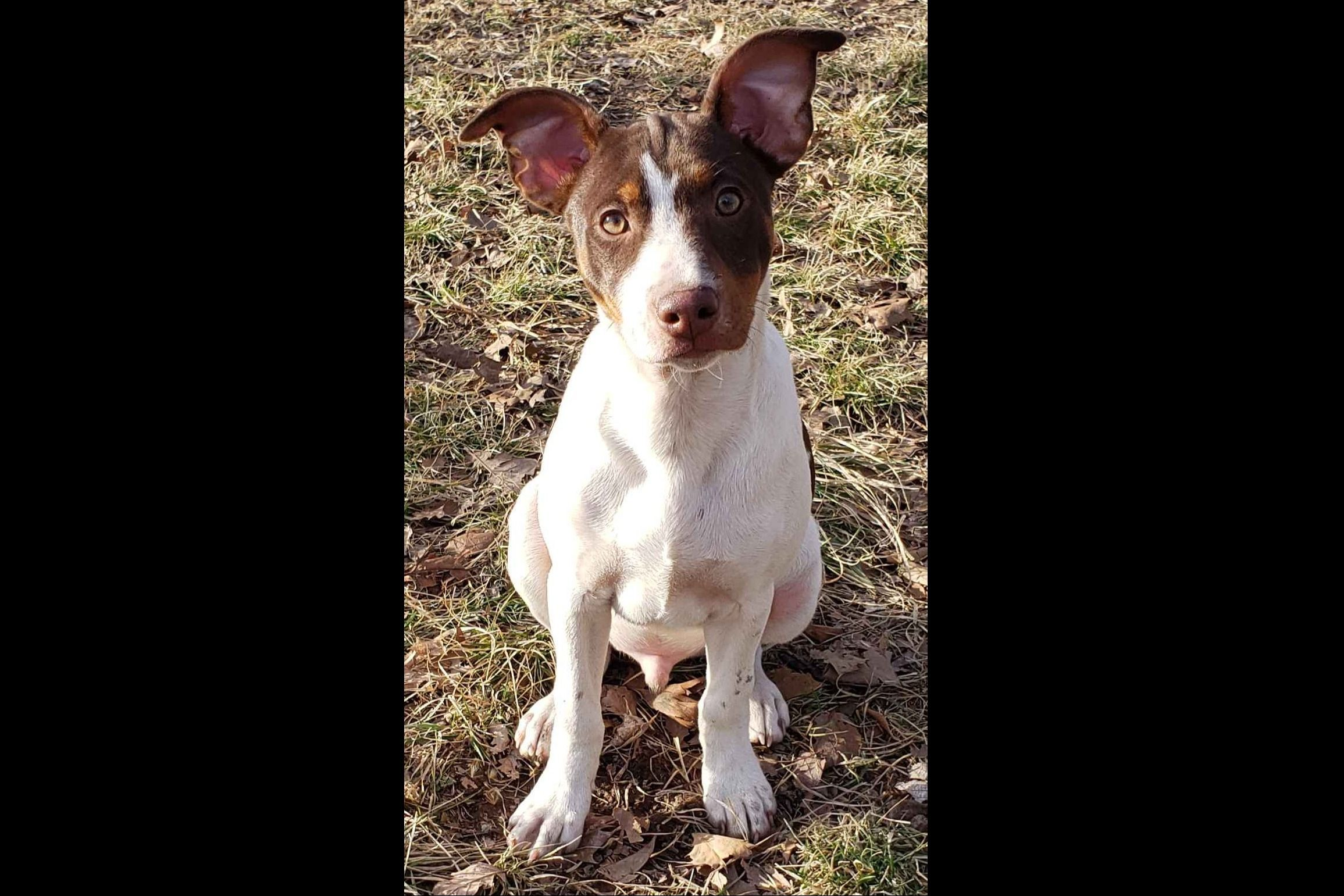 Lovely Acres Rat Terriers Has Rat Terrier Puppies For Sale In