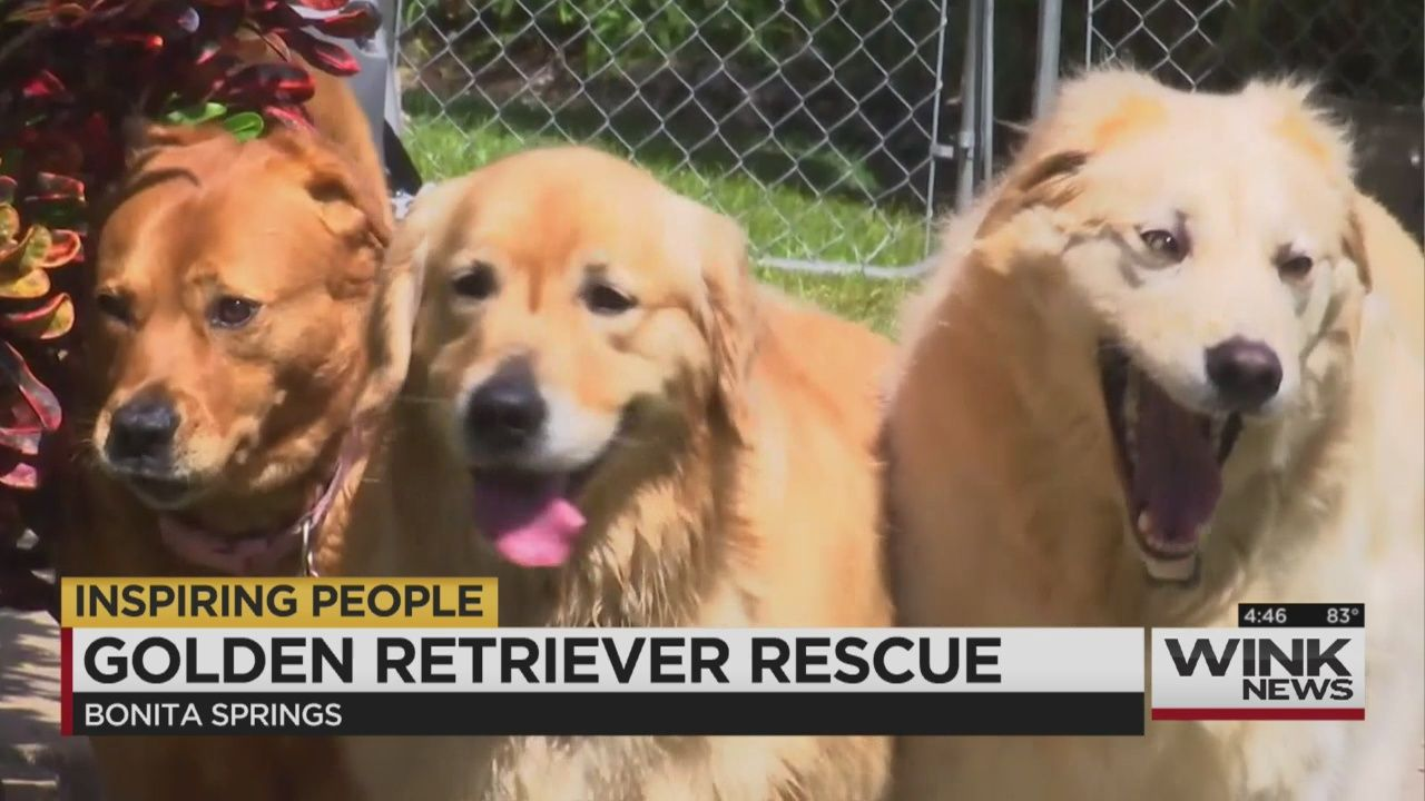 Golden Retriever Rescue In 2020 Golden Retriever Rescue Rescue