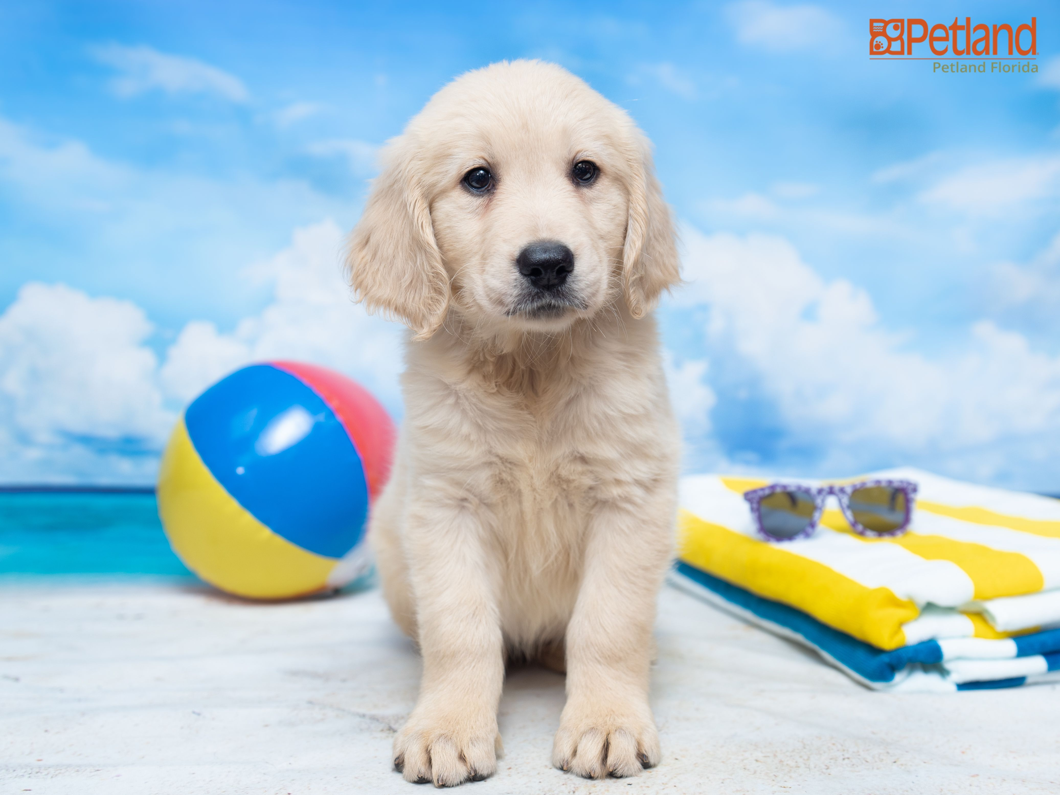 Petland Florida Has Golden Retriever Puppies For Sale Check Out All Our Available Puppies Goldenretriever Puppy Doglover Adorable Dog Cute Pet Dogof En 2020