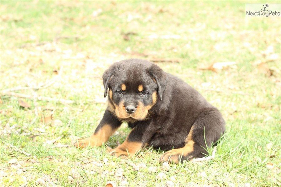 Rottweiler Puppy For Sale Near Springfield Missouri Acb0319f 0191 Pugkawaii Rottweiler Puppies Puppies Rottweiler
