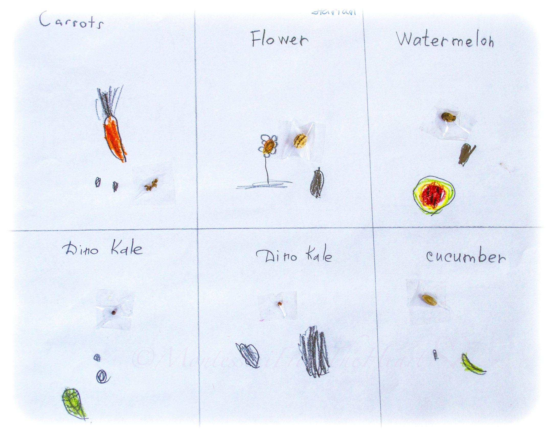 Seeds To Plants Matching Activity Botany Unit Study