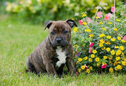 Brindle Staffordshire Bull Terrier 3 Staffordshire Bull Terrier Puppies Staffy Dog Stafford Dog