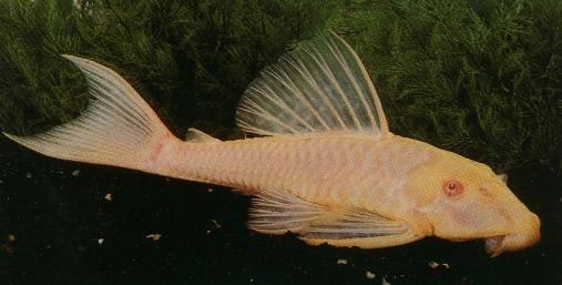 Albino Gibby Ikan Akuarium Ikan Air Tawar Ikan