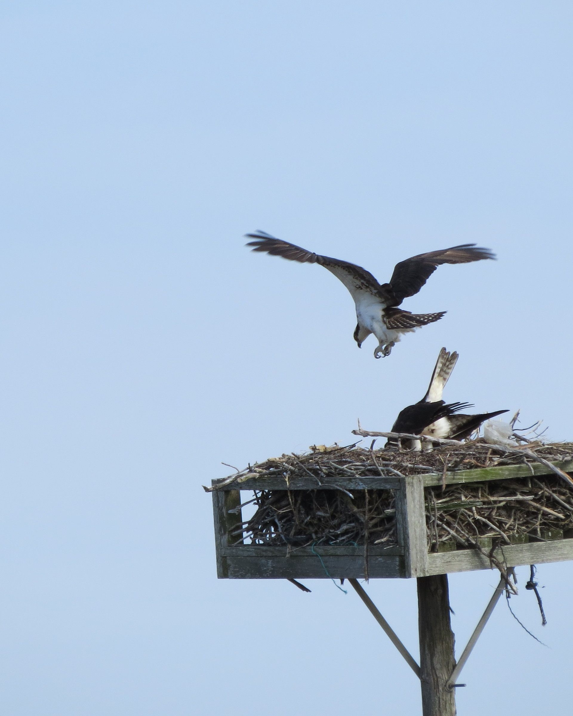 Island Beach State Park Nj: Osprey Alighting To Be With Mate On Nest Island Beach