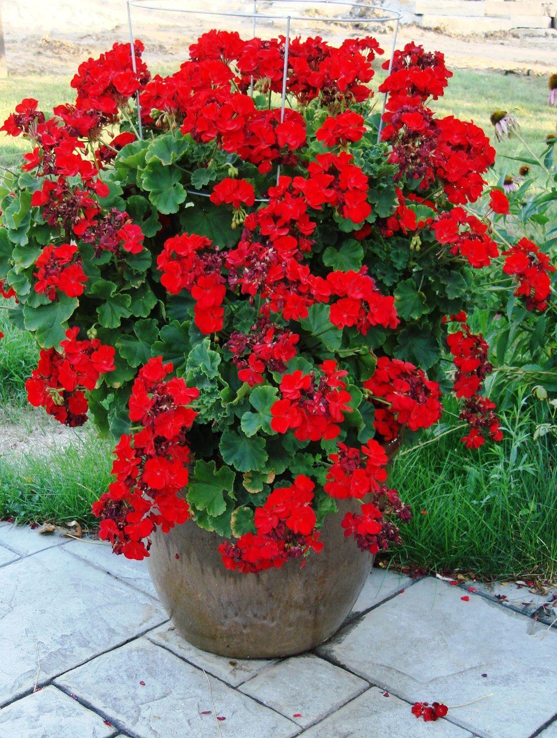 Giant red geranium small spots of color pinterest for Flower garden plants ideas