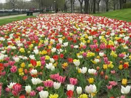 Image result for multi colored tulips growing in a back yard