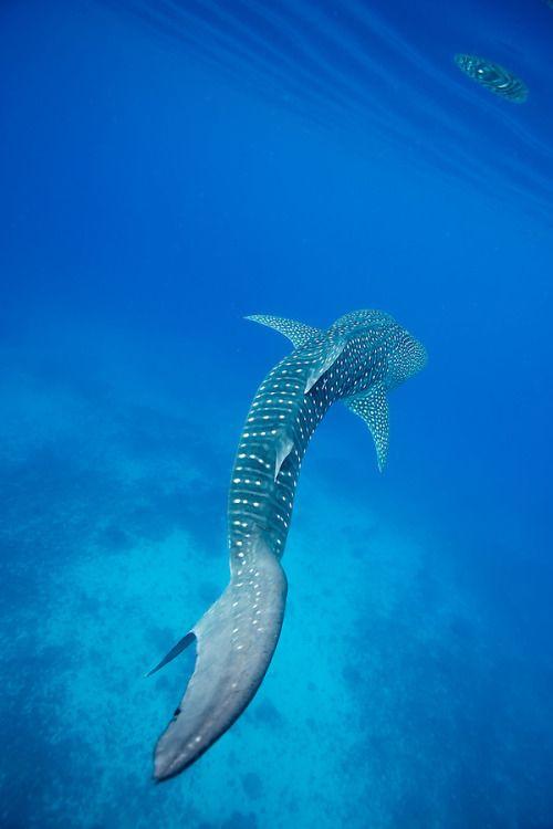 Whale Shark Bohol Sea With Images Whale Shark Ocean