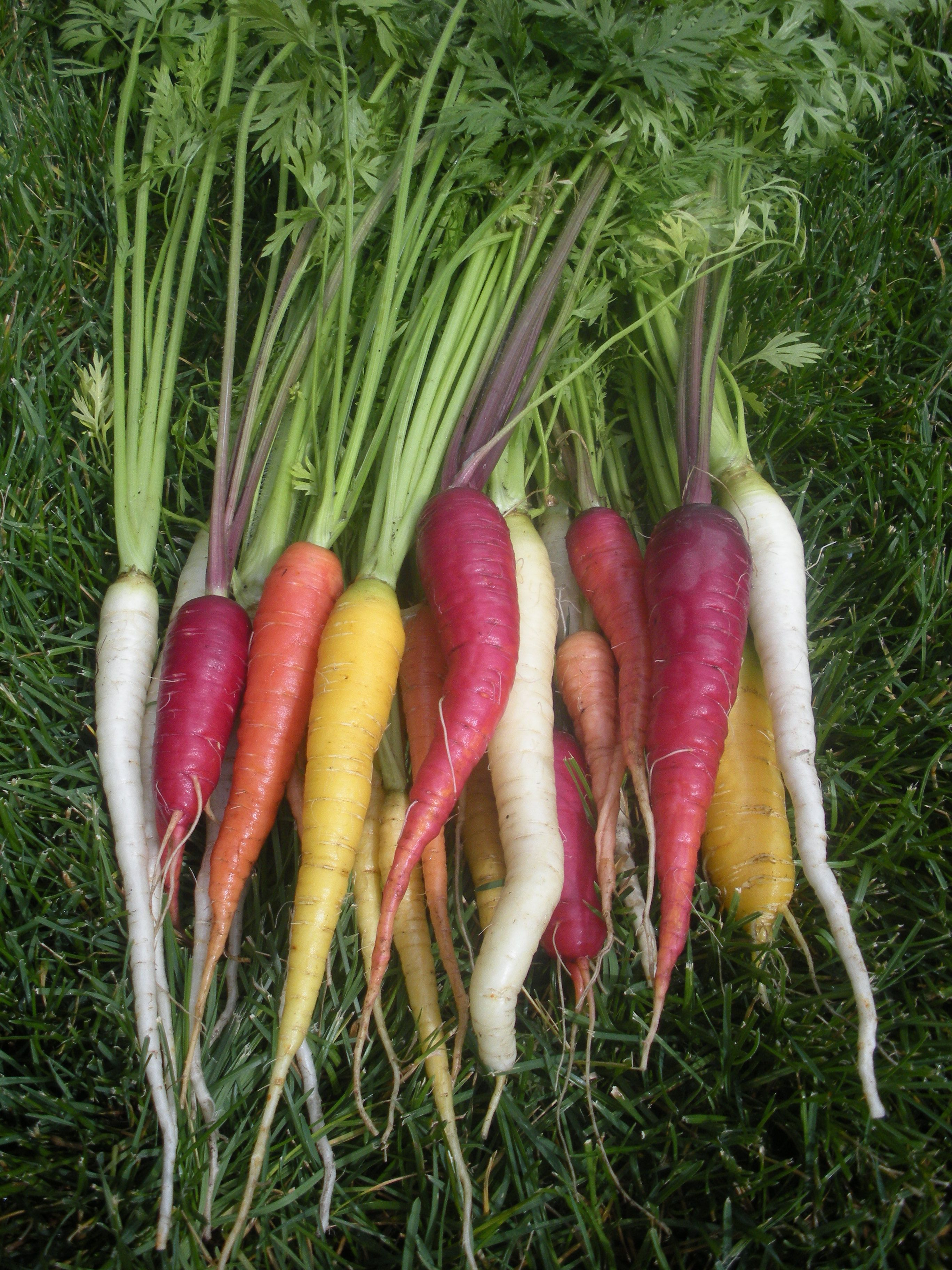 Kaleidoscope carrot blend atomic red cosmic purple bambino solar white lunar yellow - How to grow carrots in containers ...