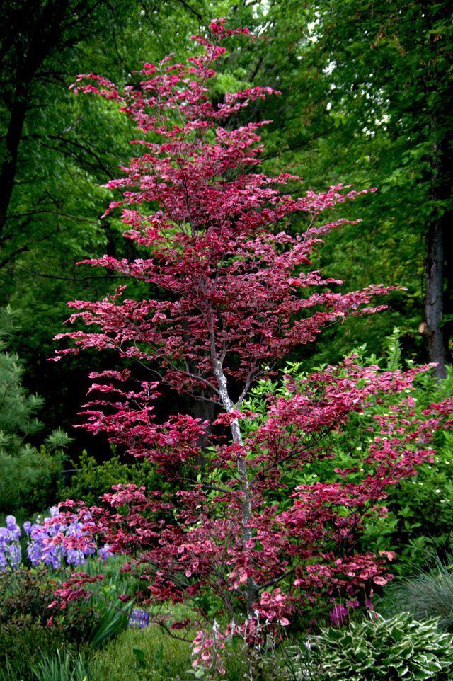 Can Hardly Wait To Plant Our Tri Color Beech Tree Note To Self Put