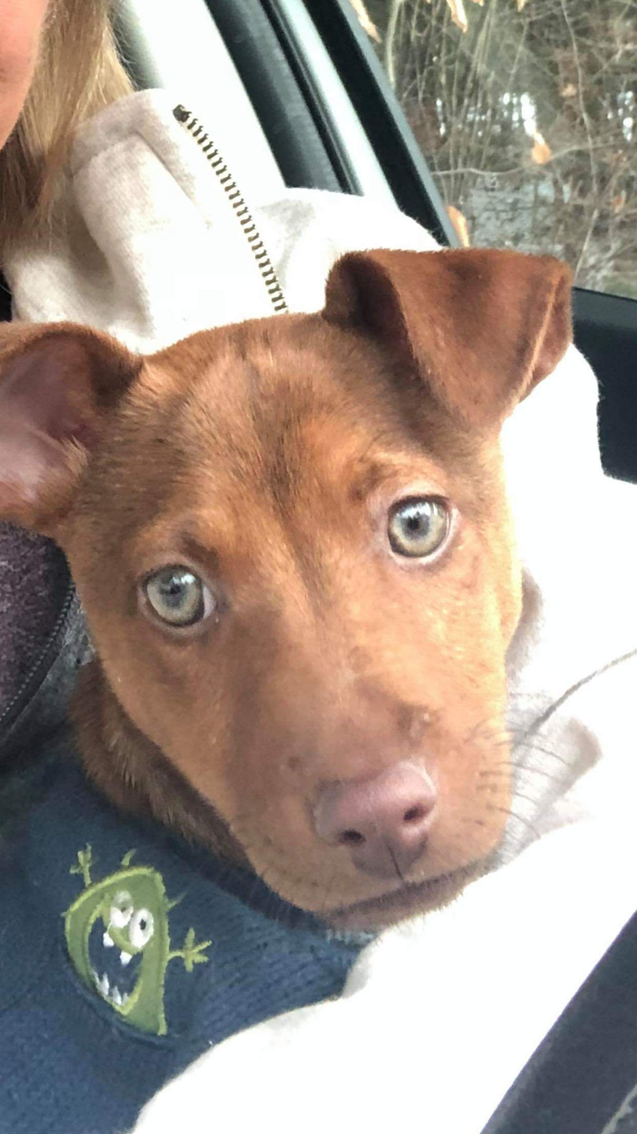 Adopt Brax On Husky Ideas Terrier Mix Dogs Dogs Rescue Dogs