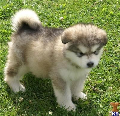 Giant Alaskan Malamutes puppy. Who wouldn't want one of ...