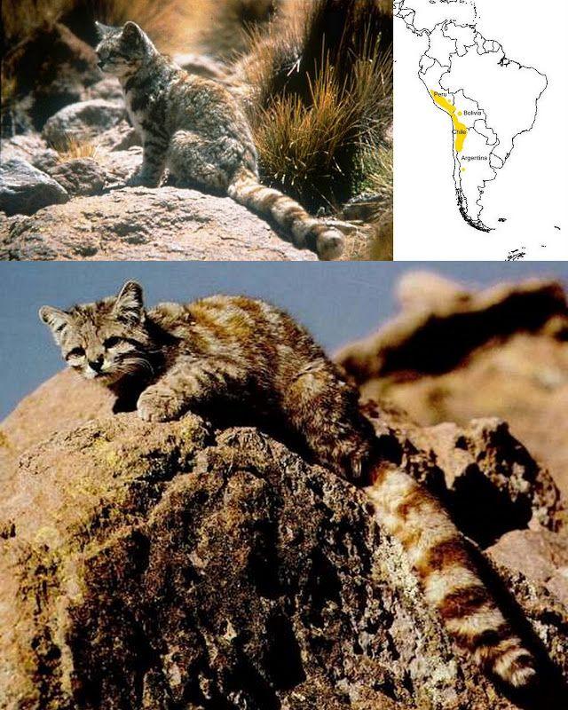 Alianza Gato Andino Rare cats, Small wild cats, Cat species
