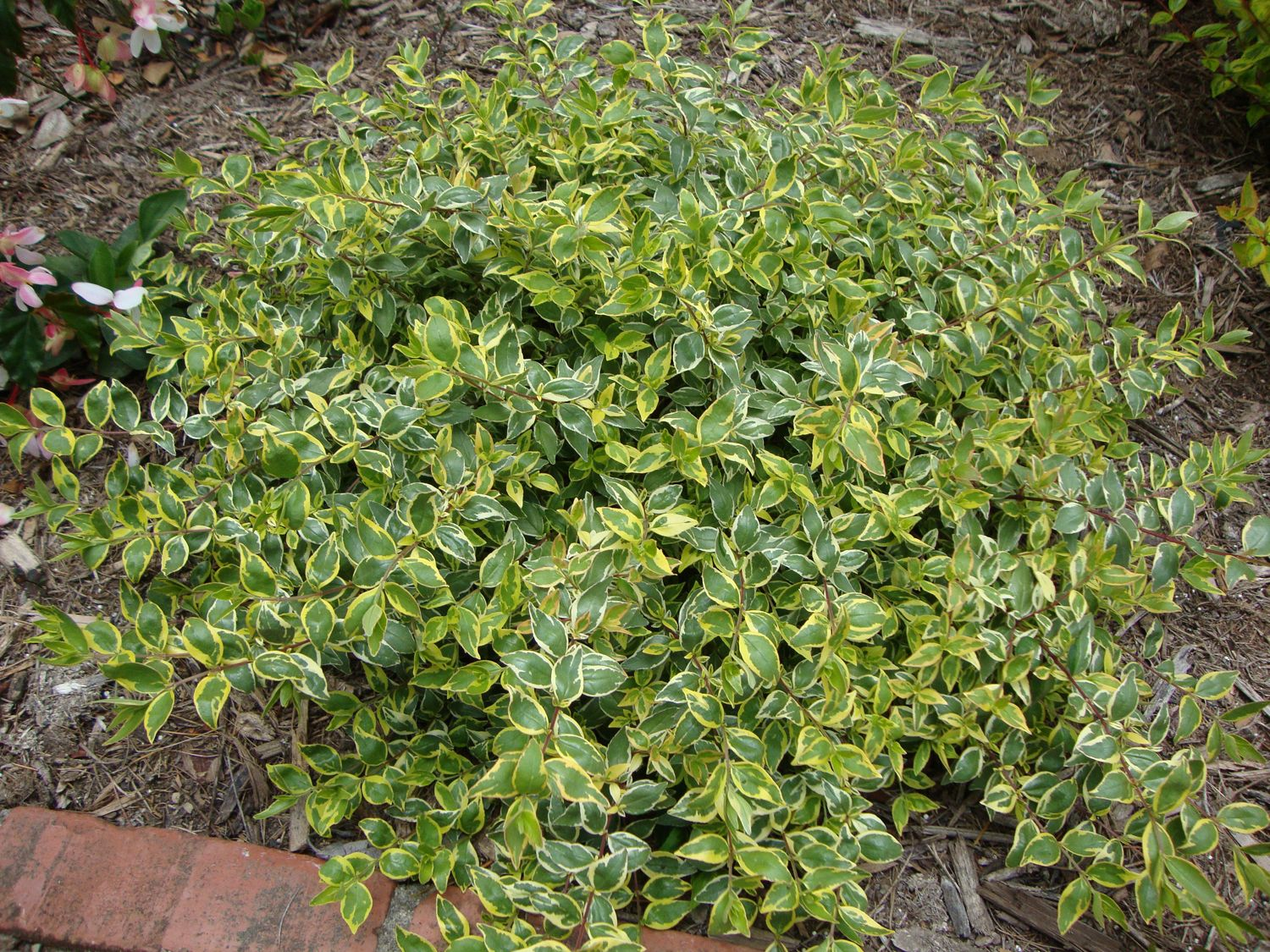 Picture of Live Glossy Abelia aka Abelia grand. 'Radiance' Plant Fit 5 Gallon Pot