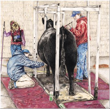 amanda raithel show cattle art quotbred owned and showquot this