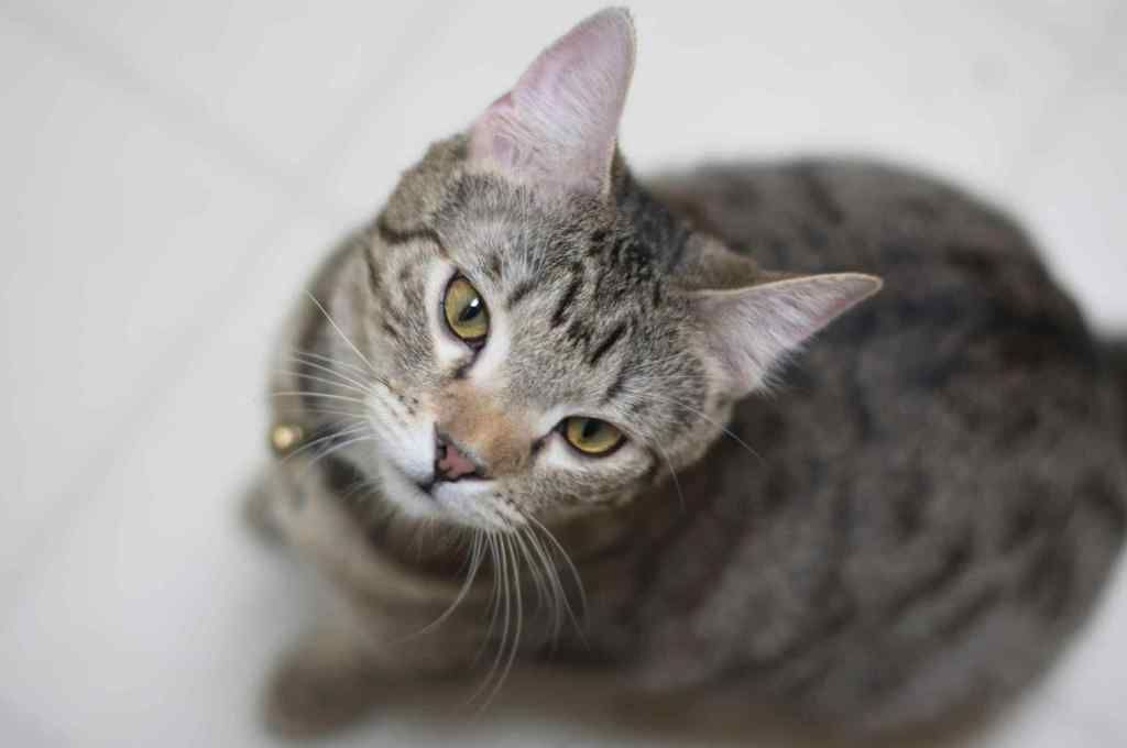 Top 10 Largest Cat Breeds In The World Large Cat Breeds Cat Breeds Bengal Cat