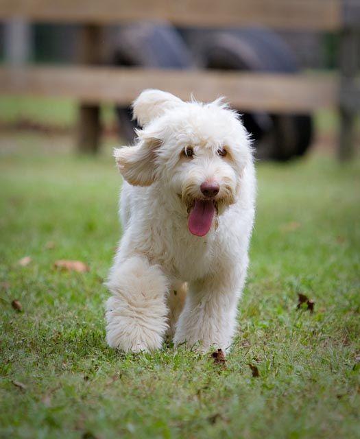 Labradoodle Puppies Labradoodle Puppy Australian Labradoodle Labradoodle