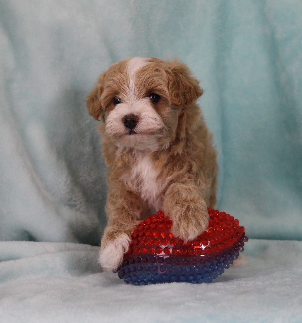 Flash Is Available For Sale Puppies Maltipoo Puppies For Sale Red Poodles