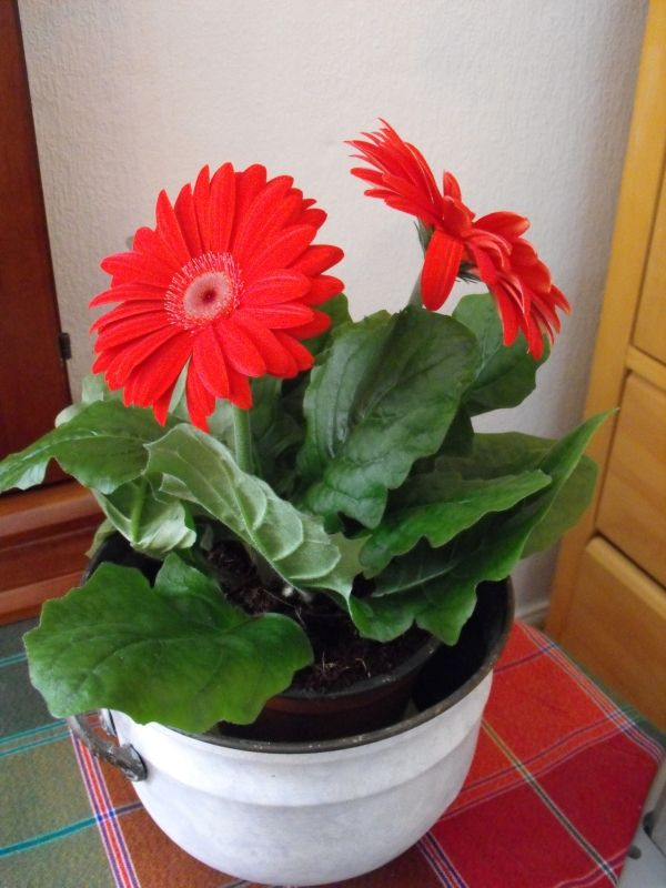 Barberton Daisy Indoor Plant With Images House Plants Plants