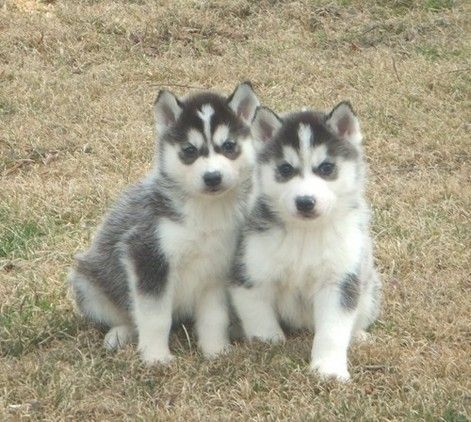 Stunning Siberian Husky Puppies For Sale In London Thames Valley