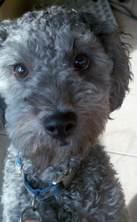 Mix And Match The 10 Most Popular Mixed Breeds Schnoodle Dog Schnoodle Schnoodle Puppy
