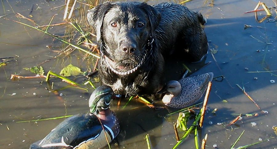 How To Train A Hunting Dog Hunting Dogs Dog Training Dogs