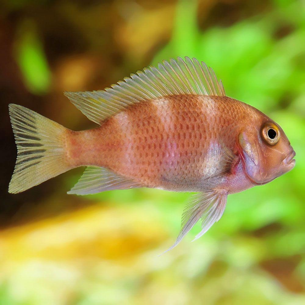 Red Frontosa Live Freshwater Fish Home Aquarium Cichlids