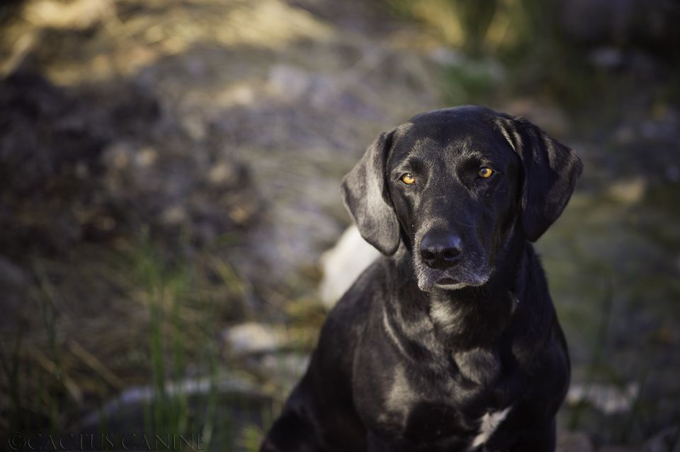 Black Lab by Cactus Canine