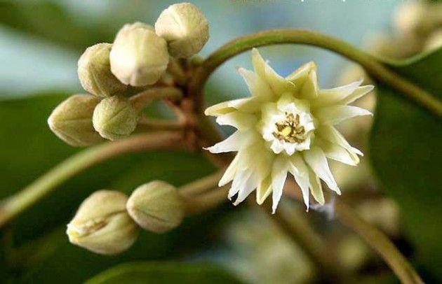 স গন ধ বক ল ফ ল Biology Plants Tooth Decay Indian Flowers