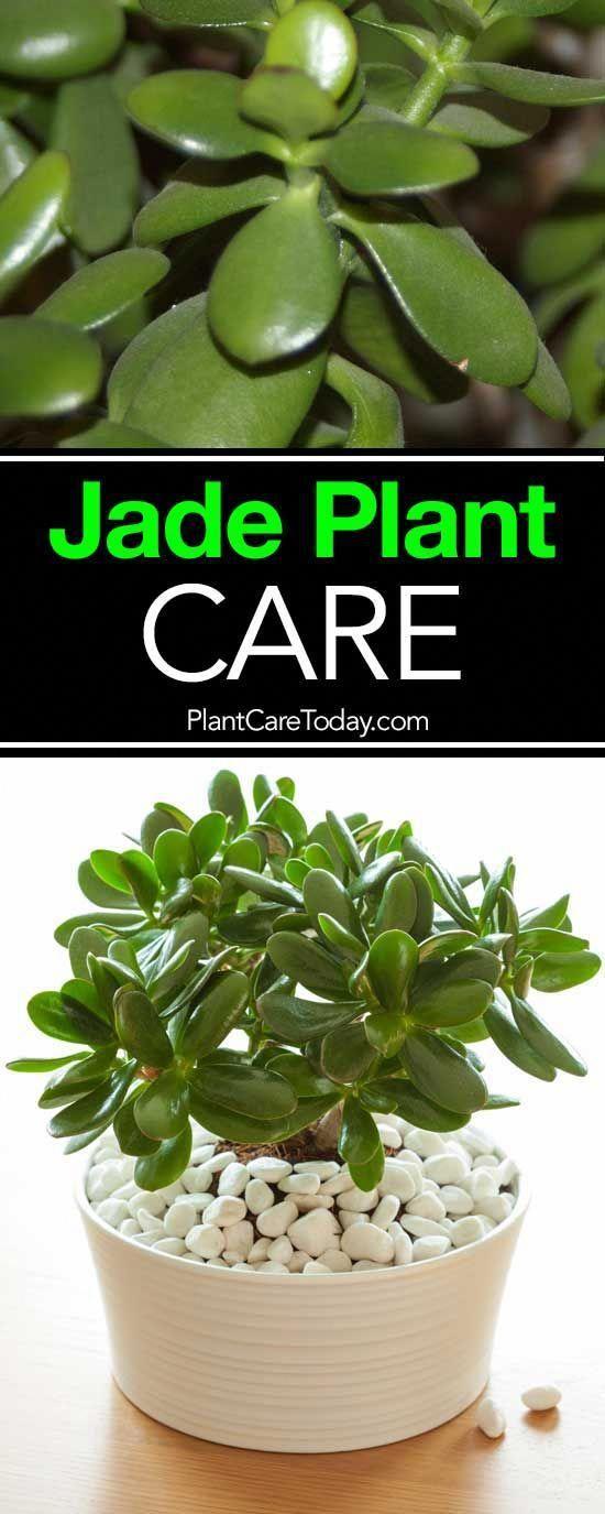 #Pflege #Wachsen #Jade #Pflanze #VIDEO Die Jade-Pflanze, pflege diese kleinen, …   – Gaten Diy