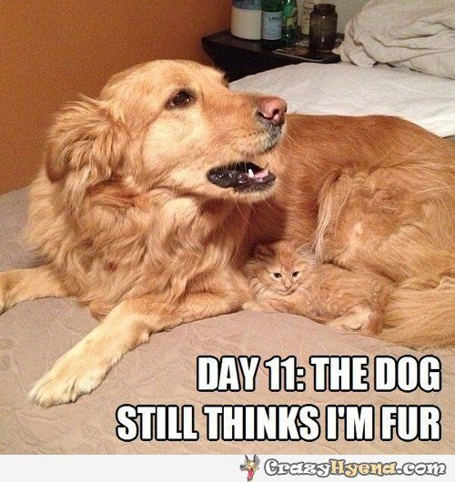 Kitten Hiding In Dog Fur The Hiding Cat Funny Pictures Quotes