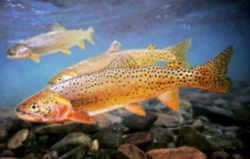 Utah state fish bonneville cutthroat trout utah for Utah fish finder