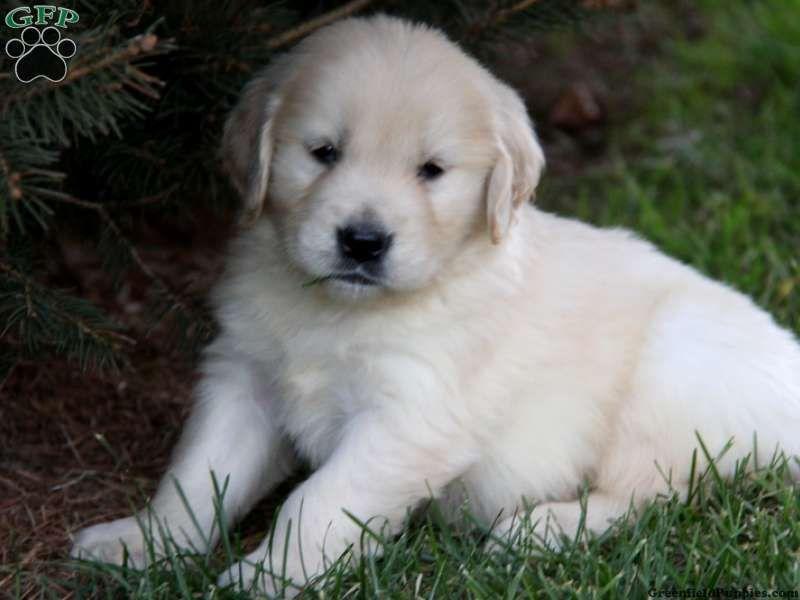Brady greenfield puppies greenfield puppies golden