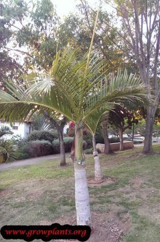Spindle Palm Plant Palm Plant Plants Palm Trees